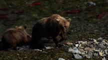 Brown Bear Grizzly Bear Mother Enters Frame In Pursuit Of Brilliant Red Salmon As Her Cub Follows