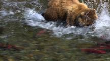 Tight On Brilliant Red Salmon Brown Bear Grizzly Bear Mother Enters Frame In Pursuit