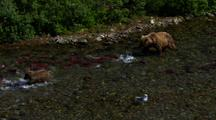 Wide Shot To Tighter On Brown Bear Grizzly Bear Mother And Cubs In Pursuit Of Panicked Red Salmon