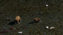 Brown Bear Grizzly Bear Mother And Cub Pursue Brilliant Red Salmon In Alaska River