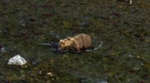 Brown Bear Grizzly Bear Walks Through River Full Of Brilliant Red Salmon Pursues Fish Here And There