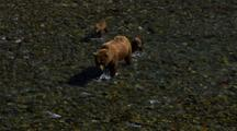 Tight On Salmon Pull To Reveal Brown Bear Grizzly Bear Mother And Cubs Walking Upriver In Pursuit Of Fish
