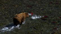 Brown Bear Grizzly Bear Pursues School Of Panicked Red Salmon
