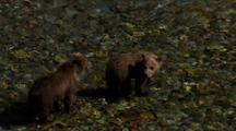 Brown Bear Grizzly Bear Mother And Cubs Survey River For Salmon Tight On Cubs Pull To Reveal Mother