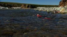 Pull To Wide Shot Low Angle Spawning Dying Red Salmon End Beginning Of Life