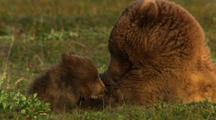 Brown Bear Grizzly Bear Mother Nurses Cubs On Alaska Tundra Golden Light Slow Pull
