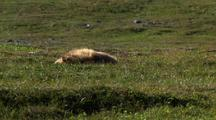 Young Brown Bear Grizzly Bear Rests On Alaska Tundra Shaggy Blonde Coat And Summer Breeze
