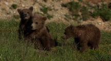 Brown Bear Grizzly Bear Cubs Wrestle And Play Near Panting Mother On Alaska Tundra
