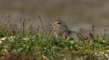 Wary Ground Squirrel Looks Over Tundra And Dives In Hole