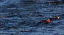 Brilliant Red Salmon Spawn And Struggle Last Days Of Life Low Angle Tight On Fins