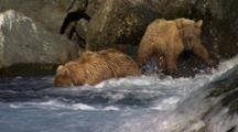 Young Brown Bear Grizzly Bears Wade Into Pool As Brilliant Red Salmon Jump Waterfall In Foreground, Bear Snorkels After Fish