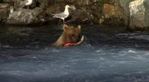 Brown Bear Grizzly Bear Catches Brilliant Red Salmon In Alaska River Foamy Pool Of Water Nice Light