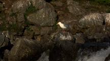 Seagulls On Rocks Looks On As Bears Catch Fish Out Of Frame Brown Bear Grizzly Bear Habitat