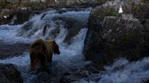 Brown Bear Grizzly Bear In Shadow Looks For A Meal In Salmon Rich Pool At Base Of Waterfall As Well Lit Seagull Looks On
