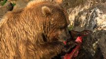 Golden Brown Bear Grizzly Bear Eagerly Eats Birlliant Red Salmon Under Beautiful Light