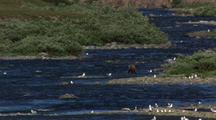 Scenic Landscape Beautiful Alaska Tundra Brilliant Blue River Brown Bear Grizzly Bear Fishes For Salmon Slow Pull To Wide Shot Of Tundra Landscape