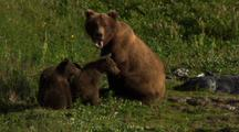 Brown Bear Grizzly Bear Mother Sit On Alaska Tundra Wary Cubs Stand And Look Out Of Frame