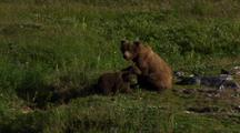 Brown Bear Grizzly Bear Mother And Cubs Sit On Alaska Tundra Wary Cubs Look Out Of Frame