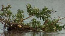 Sparrow Flies From Branches Along Alaska River