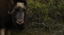 Musk Ox Rubs Horns On Brush In Preparation For Rut