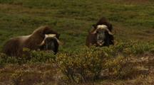 Pair Of Musk Oxen During Rut Breeding Season On Alaska Tundra