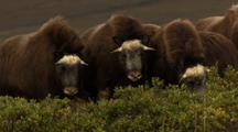 Musk Oxen Herd During Rut Breeding Season On Alaska Tundra