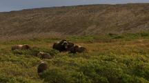 Musk Oxen Herd During Rut Breeding Season Grazes On Alaska Tundra