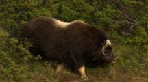 Musk Ox Walks Down Hillside On Alaska Tundra