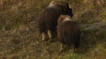 Musk Oxen Butt Heads Clash And Push Each Other Around During Rut Breeding Season
