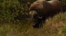 Musk Ox Stands In Brush On Alaska Tundra