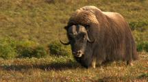 Shaggy Musk Ox Walks Across Alaska Tundra During Rut Breeding Season