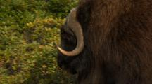 Shaggy Musk Ox Walks Across Alaska Tundra During Rut Breeding Season Tilt To Hooves