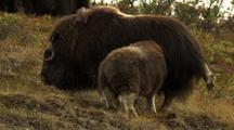 Musk Oxen Calf Tries To Nurse From Impatient Mother