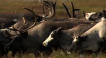 Caribou Herd On Late Summer Tundra Alaska
