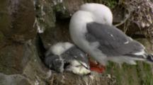Red-Legged Kittiwake Adult And Chick Rest On Cliff Nest Alaska