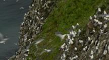 Seabirds Kittiwakes Fly Near Nesting Colony Rookery