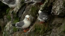 Red-Legged Kittiwake Adults On Cliffs