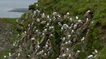 Red-Legged Kittiwakes Mix With Murres On Cliffside Rookery Pribilof Islands