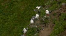 Tight On A Group Of Red Legged Kittiwakes At Cliffside Rookery Pribilof Islands