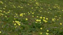 Yellow Arctic Poppies Blooming On Tundra Pribilof Islands
