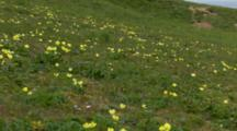Yellow Arctic Poppies Blooming On Tundra Pribilof Islands Pan To Seabird Rookery