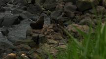 Northern Fur Seals Beachmasters, Pups, Adults Rest On Rocks Of Pribilof Islands