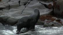 Northern Fur Seal Rolls Around In Water Climbs Out On Rocks Pribilof Islands