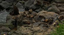 Northern Fur Seal Beachmaster And Harem On Pribilof Islands