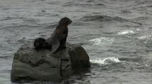 Northern Fur Seal Rests On Rock In The Ocean Pribilof Islands