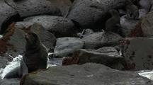 Northern Fur Seal And Pups On Rocks Pribilof Islands