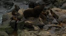 Northern Fur Seal Beachmaster And Harem On Rocks Pribilof Islands