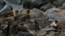 Northern Fur Seals And Pups Gather On Rocks Pribilof Islands