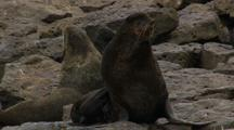 Northern Fur Seals Gather On Rocks Pribilof Islands