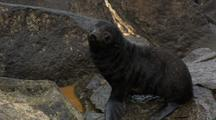 Northern Fur Seal Pup Waddles Across Rocks At Rookery On Pribilof Islands